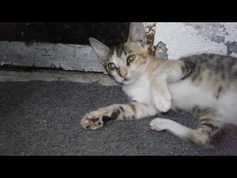 Indian Cats Fighting Video Clip 2018 | Most Viral Cats On Youtube | Funny Cats