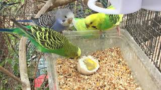 Male Budgies/Parakeets Eating A Boiled Egg (Волнистых попугаев)