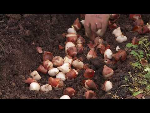 How we plant Tulips for cutting - plantpassion