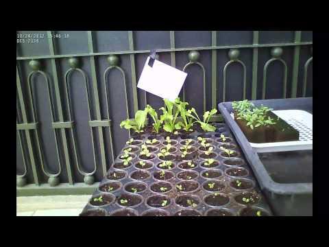 15 días de crecimiento de lechuga hidropónica