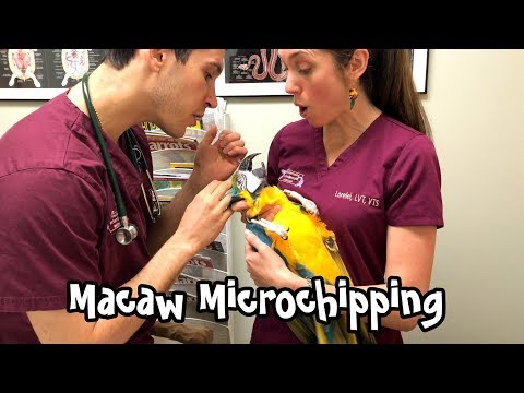 Rachel Blue And Gold Macaw - Vet Visit And Microchipping