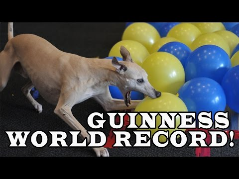 World Record by Toby the Whippet