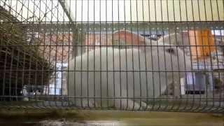 Случка белых великанов(В видео показана случка кроликов породы Белый великан., 2014-12-02T12:44:05.000Z)