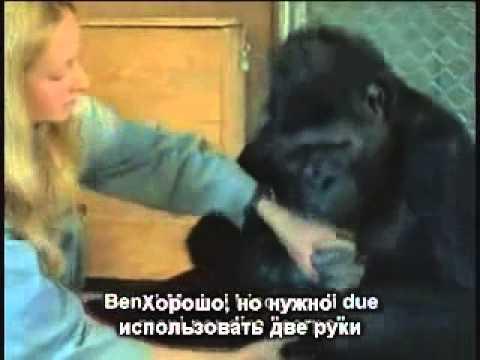 коко говорящая горилла онлайн