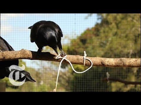 Crow Cognition | ScienceTake | The New York Times
