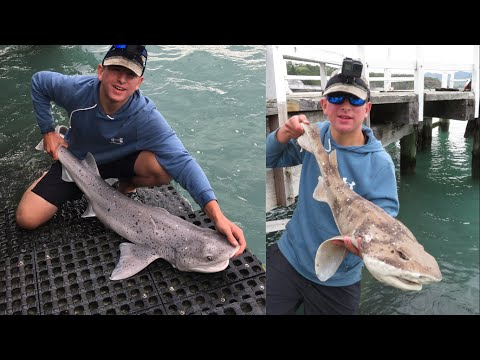 Shark Fishing In Christchurch   Seven Gill Shark