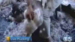 Goose Down Practices Called Animal Cruelty - CBS5