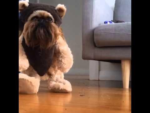 Digby Van Winkle Ewok Dog Youtube