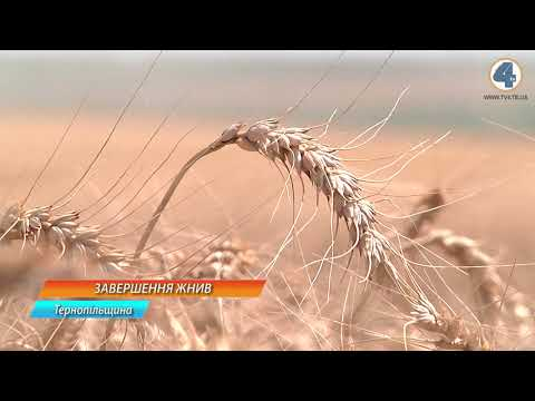 TV-4: Аби зібрати урожай зернових повністю, аграріям Тернопільщини знадобиться не більше трьох діб