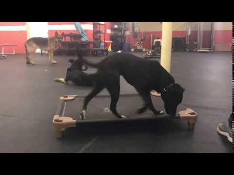 Dog Training | Quick recall past distractions | Solid K9 Training Dog Training