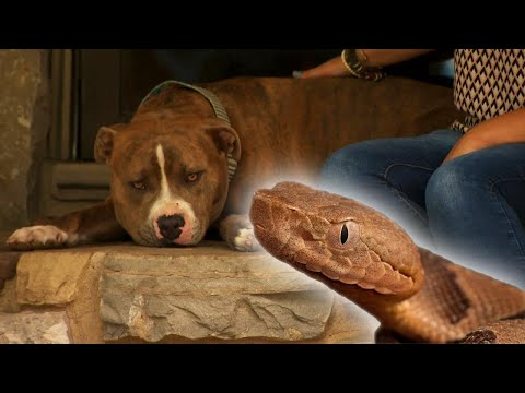 Loyal Pit Bull Saves Mom From Snake