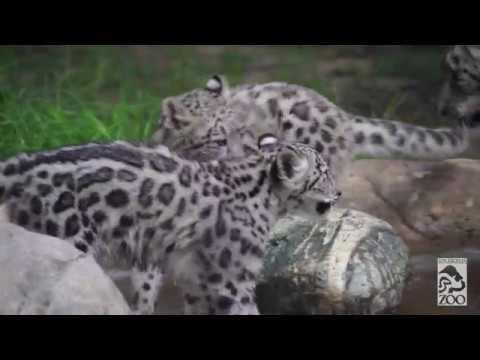 LA Zoos Baby Snow Leopards