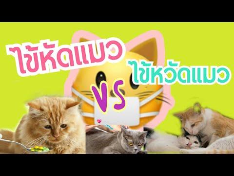 ไข้หัดแมวต่างจาก...ไข้หวัดแมวอย่างไร   Cat story  