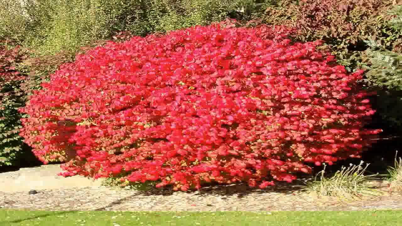 burning bush strauch # 9
