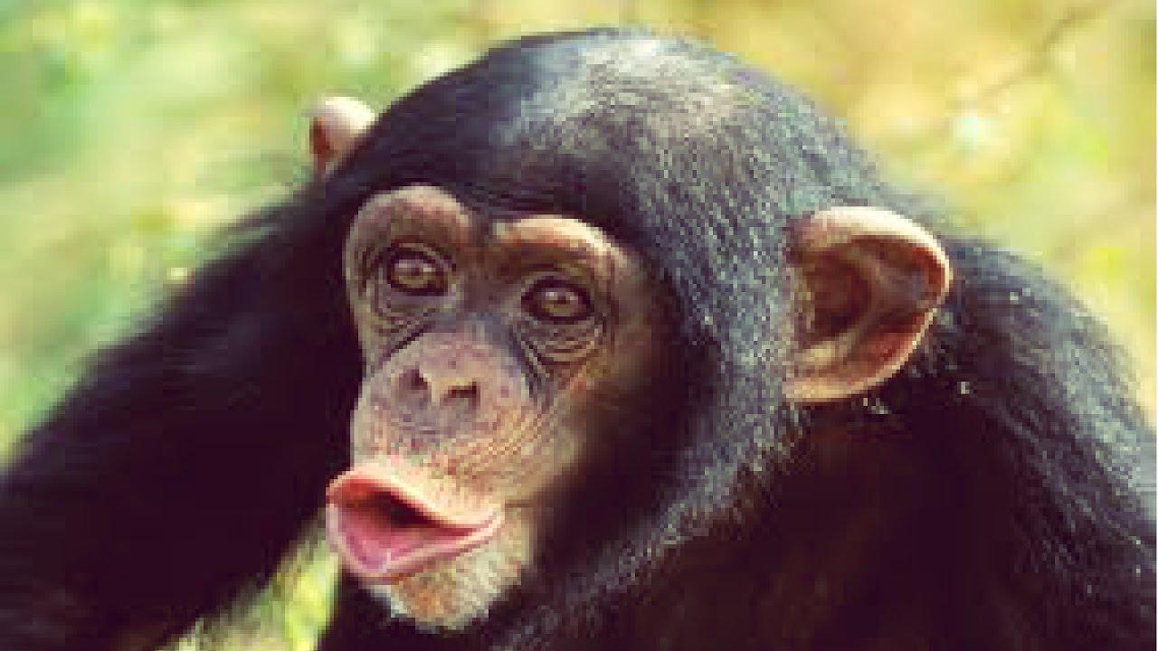 Lindos. Tiernos, Graciosos Y Chistosos Monos/chimpancés