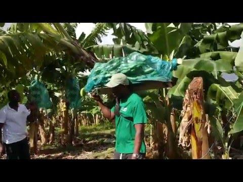 Cueillette des bananes en Martinique