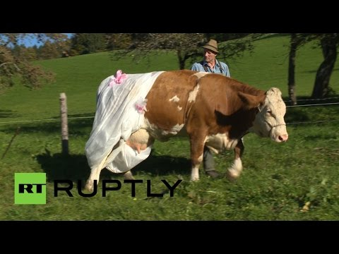 Fertilize that! German farmer diapers cows to protest new EU rules