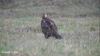 Marsh Harrier in Hassan, Karnataka Thumbnail