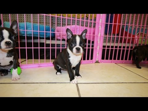 Boston Terrier, Puppies For Sale, In Knoxville, County, Tennessee, TN, 19Breeders, Murfreesboro