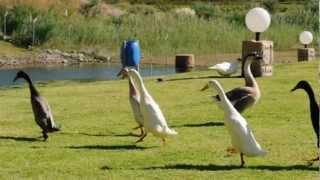 Веселые индийские  утки бегуны и гуси. indian runner ducks