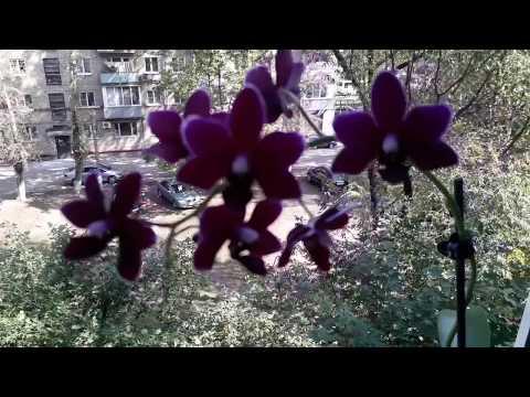 """Орхидея """"Чёрная птичка""""🕊Домашнее цветение ."""