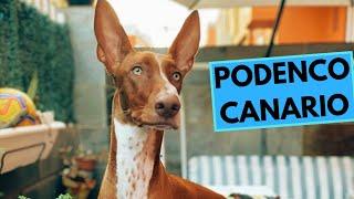 Podenco Canario  TOP 10 Interesting Facts