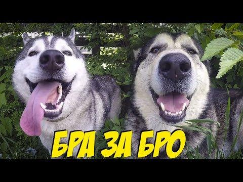 Собаки хаски и маламут на стадионе