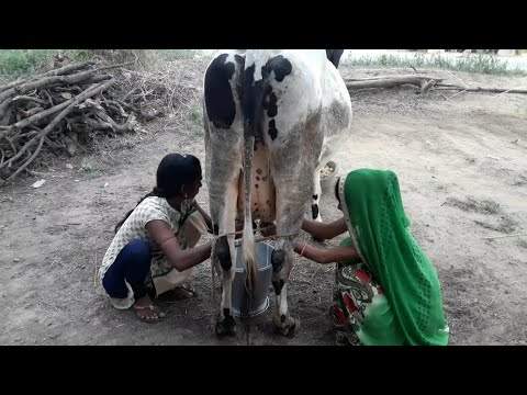 Two girls cow milking full video || Indian girls cow milk video thumbnail