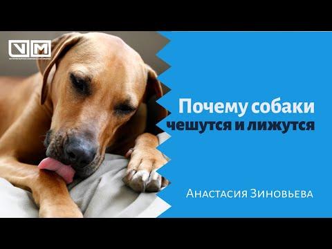 Почему собаки чешутся и лижутся
