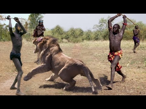 |archery  lion hunting |lion hunting 🦁🏹using bow and arrow |singa vs Manusia