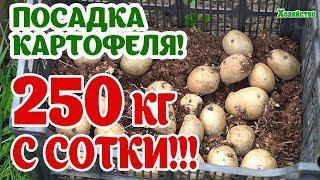 Секрет посадки картофеля. 250 кг урожая с сотки.