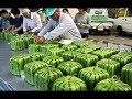 How To Farming Watermelon ? - Watermelon Harvesting and Watermelon Packaging Technology