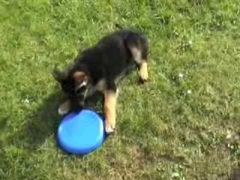 Karla Our German Shepherd Puppy At 8 Weeks Old Youtube