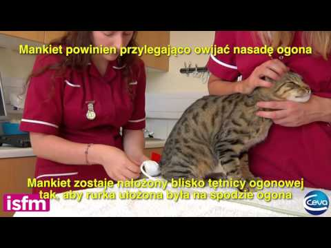 Blood pressure measurement in the cat: use of HDO (high definition Oscillometry) Equipment (Polish)