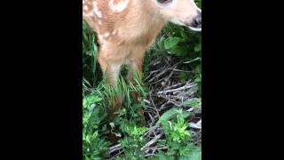 Baby Deer Walks Up To Me And Licks My Fingers