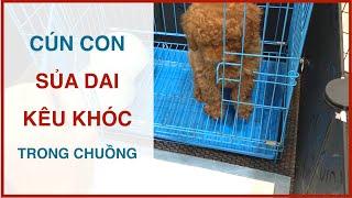 Chó con mới về nhà kêu khóc - sủa liên tục | Cách huấn luyện chó cơ bản BoṡṡDog | D๐g training