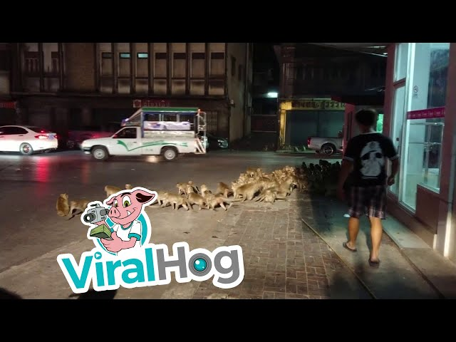 Monkey Madness || ViralHog
