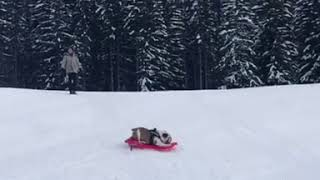 Bulldog Spins on Sled Down Hill 1020879 2