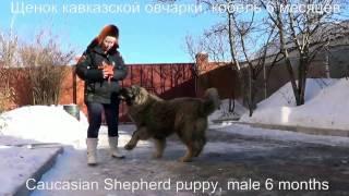 Щенок кавказской овчарки, кобель 6 месяцев. www.r-risk.ru Тел. +7 926 220-56-03 Татьяна Ягодкина