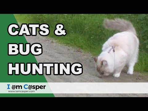 Casper Ragdoll cat - Outdoor leash walking and bug hunting