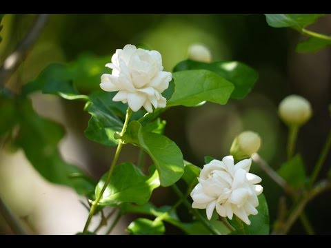 Image result for mogra plant