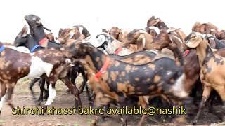 SW goats nashik KHASSI BAKRE FOR EID 2018 mangesh dhokne goatfarm 8888899990