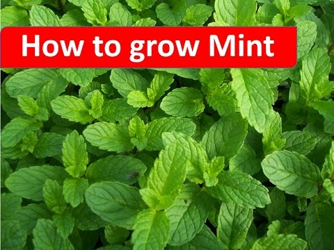 How To Grow Mint In Your Home Garden By RinkusRasoi