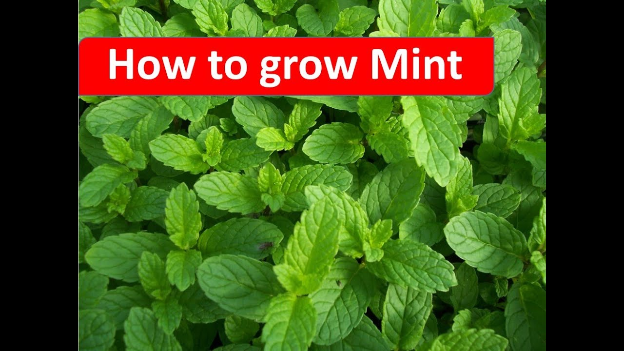 how to grow mint in your home garden by rinkusrasoi youtube. Black Bedroom Furniture Sets. Home Design Ideas