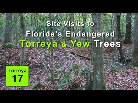 Site Visits to Florida's Endangered Torreya and Yew Trees