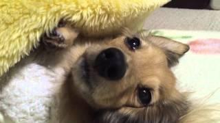 可愛いペットの紹介です。ただ就寝前の姿を撮っただけですが何であれ動...
