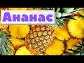 Как выращивают и собирают ананасы   How harvested pineapples