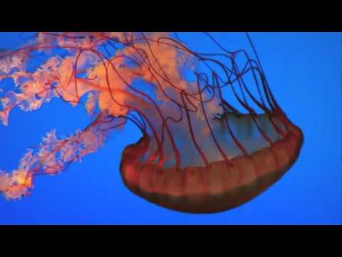 live pet jellyfish for sale youtube. Black Bedroom Furniture Sets. Home Design Ideas