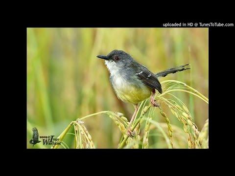 Download Suara Kicau Burung Ciblek Sawah