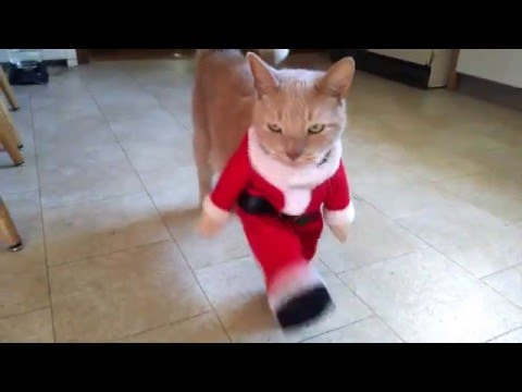Cat Dreseed As Santa Does Can-Can Dance